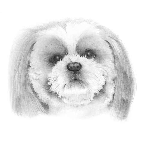 shih tzu drawings how to draw a shitzu