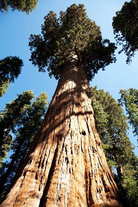big trees   die  severe droughts scientific