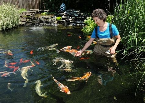 backyard koi ponds 77 best images about water feature fish on pinterest raising backyards and mussels