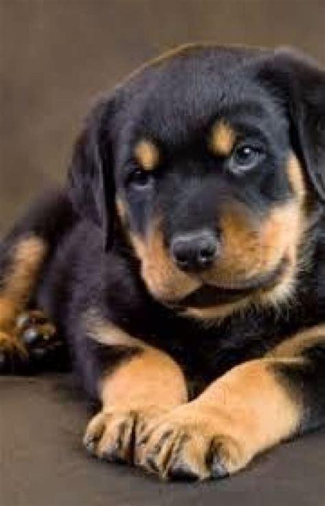 rottweiler puppies nz rottweiler puppies for sale at ernakulam ernakulam animal agriculture kerala