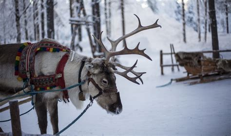reindeer   eat bananas skin   useless