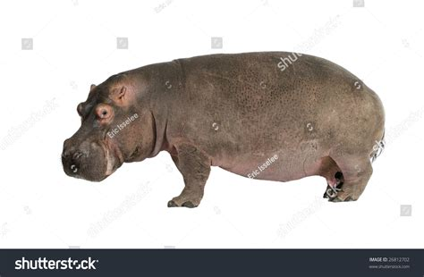 Hippopotamus In White Background hippopotamus hippopotamus hibius 30 years in front