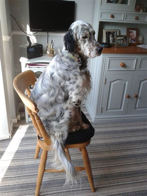 english setter therapy dog best 25 english setter puppies ideas on pinterest