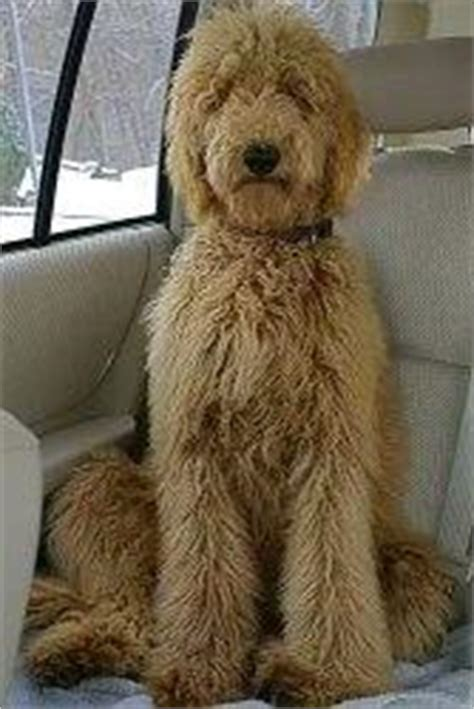 poodles long hair in winter how often does a standard poodle need to be groomed how