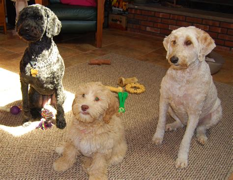 golden retriever breeders gold coast standard poodle puppies gold coast dogs our friends photo