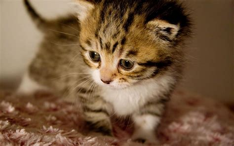 beautiful kittens cute kittens pictures the wondrous pics