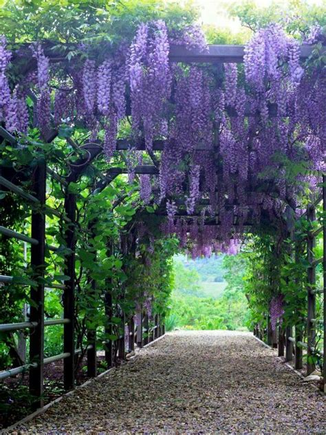 plants that drape 25 best ideas about wisteria trellis on pinterest