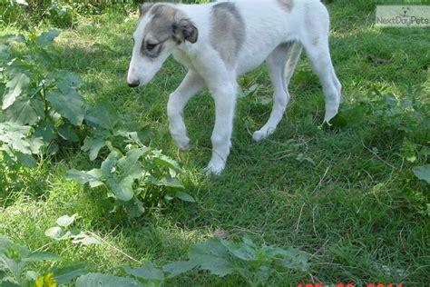 borzoi puppies borzoi puppies for sale borzoi puppies borzoi puppy pictures breeds picture