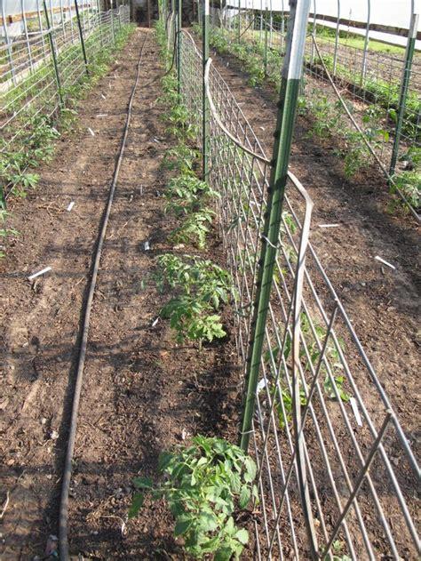 trellis system  heirloom tomatoes   posts  hog