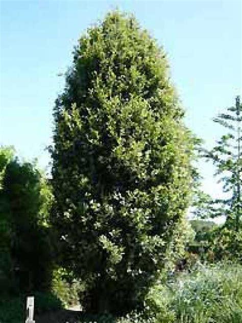 Baum F R Garten 3270 by Thuja Brabant Pflanzzeit Lebensbaum Thuja Brabant 140 160