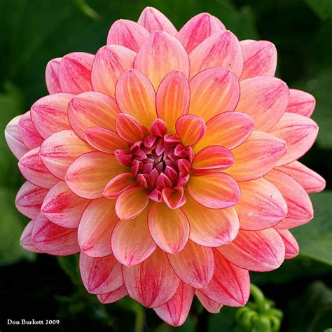dahlias flowers www pixshark com images galleries with