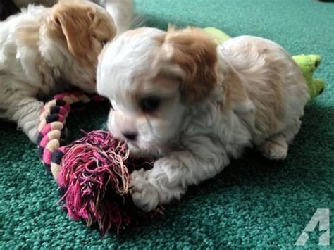 cavachon puppies for sale in michigan cavachon puppy cavalier bichon mix for sale in