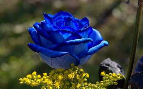 wallpaper blue beautiful flower wallpapers flower pictures red rose flowers