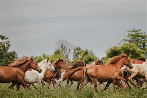 Sho Kuda Di Indo sekelompok kuda di padang rumput di wilayah mbrukulu sumba timur kuda merupakan tokoh simbolik