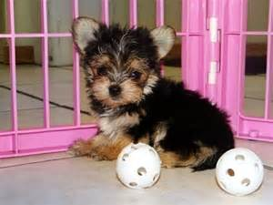 puppies for sale in nc morkie puppies dogs for sale in raleigh