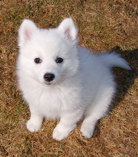 japanese puppy wilson the japanese spitz puppies daily puppy