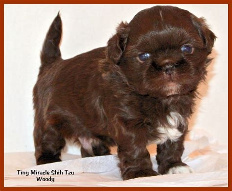 shih tzu boy puppy names shih tzu temperament pets images breeds picture
