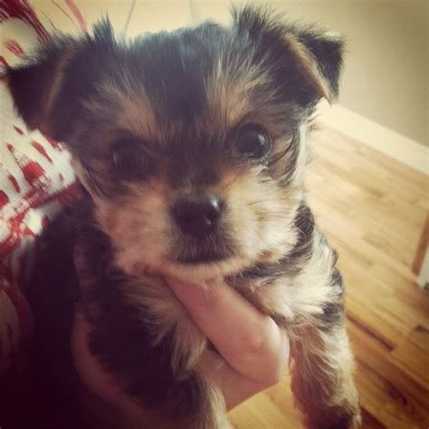 6 week yorkie discover and save creative ideas
