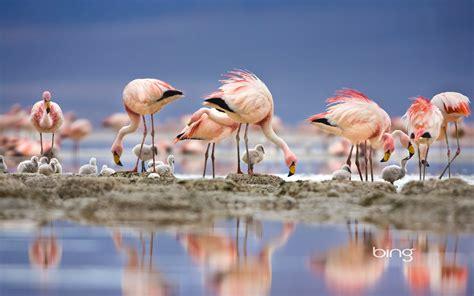 flamingos birds wallpaper flamingo full hd wallpaper and background 1920x1200 id