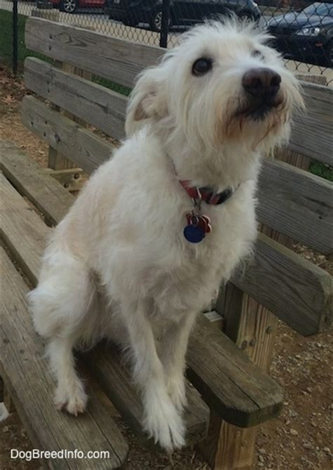shepherd shih tzu mix australian terrier poodle hybrid dogs breeds picture