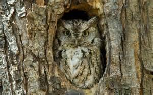 owl homes horned owl bird hd wallpapers for desktop best collection