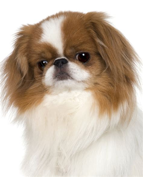 japanese chin puppies japanese chin breed information noah s dogs