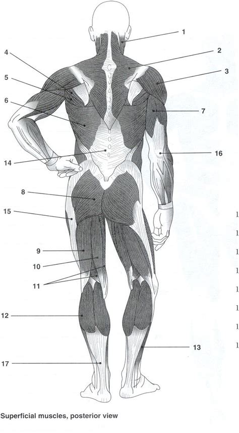 labelled muscular system diagram posterior muscles unlabeled study resources