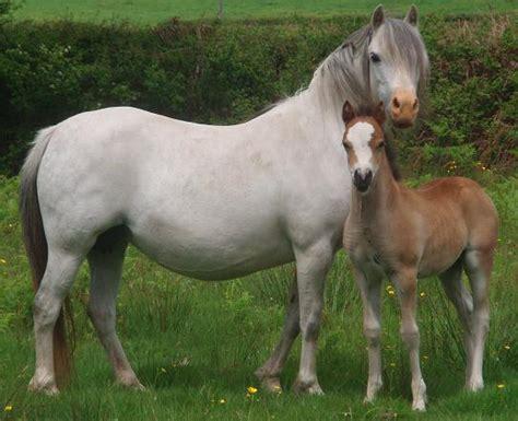 nantlais mountain ponies mares