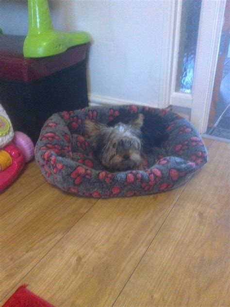 wanted yorkie puppy wanted terrier prefer a boy manchester greater manchester pets4homes