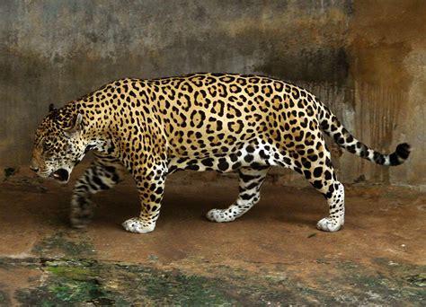 of jaguars jaguar wikip 233 dia