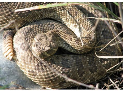 pa bite cer dies from rattlesnake bite in pennsylvania reports plymouth whitemarsh pa patch