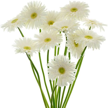 Imagenes De Gerberas Blancas | enviar gerbera blanca enviar flores a domicilio