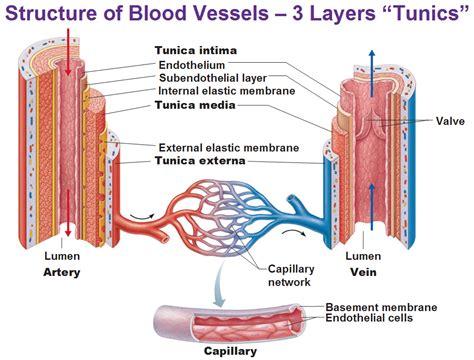 blood vessels diagram blood vessels tunica intima endothelium subendothelial