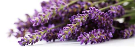 fiori di lavanda sciroppo di lavanda dailygreen