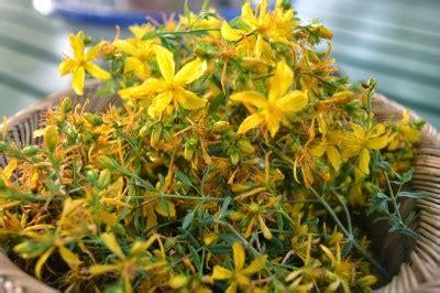 ipericum fiore iperico ecco un altro dono della natura