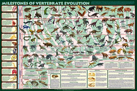 chart the fascinating evolution of american houses over milestones of vertebrate evolution extraordinary poster