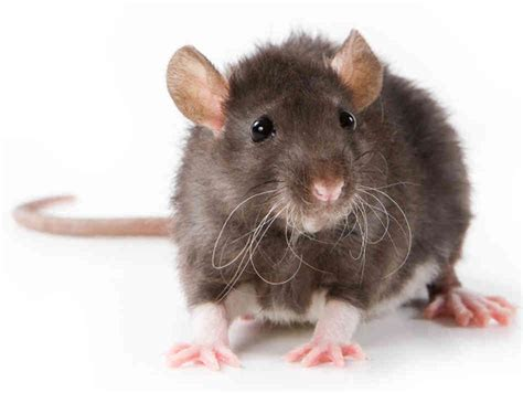 rats and mice health