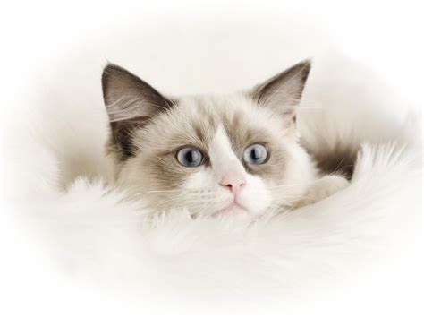 cat wallpaper buy cats wallpaper 183 download free hd wallpapers of cats for