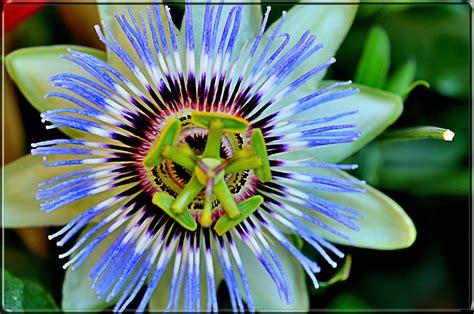 fiore passiflora passiflora fiore di cristo foto immagini macro e