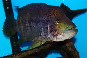 Jaguar Cichlid Teeth Aggressive Fish The Growing Pains Of Keeping A Wolf