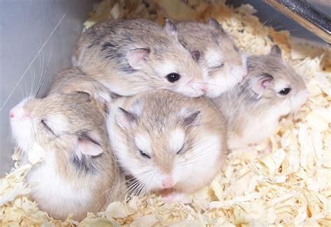 hamster animal wildlife