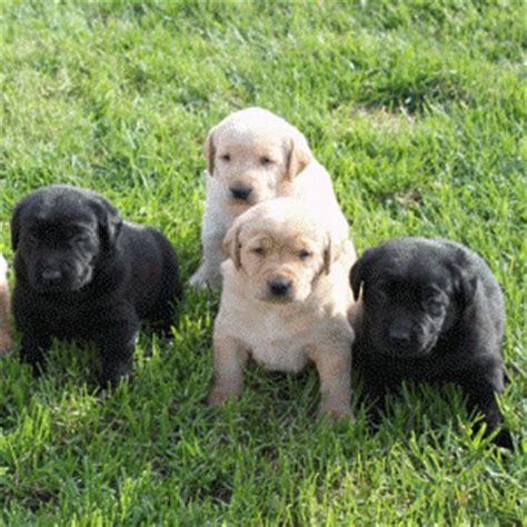 lab puppies for sale in oregon quelques liens utiles