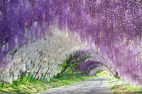 pianta glicine vaso glicine wisteria wisteria ricanti glicine