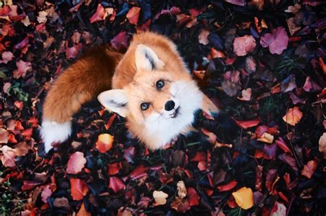 how cute pet foxes steal your heart adorable pet fox named juniper will your