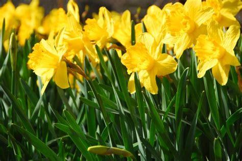 narzissen in der wohnung narzissen 187 pflanzen pflegen schneiden und mehr