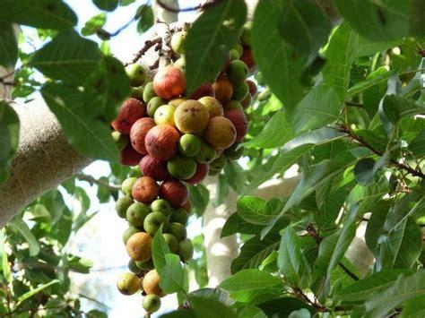 udumbara athi fruit powder 200grams 50grams x 4packs - Athi Fruit Tree