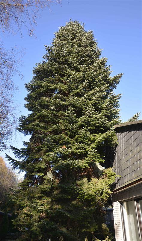 wann werden die weihnachtsbäume abgeholt weihnachtsb 228 ume werden ab heute abgeholt radio38