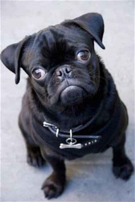 do pugs fall out black pugs on black pug puppies black pug and pug