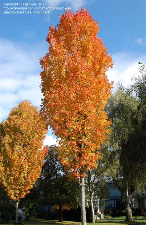 karpick maple tree plantfiles pictures maple scarlet maple bowhall acer rubrum by growin