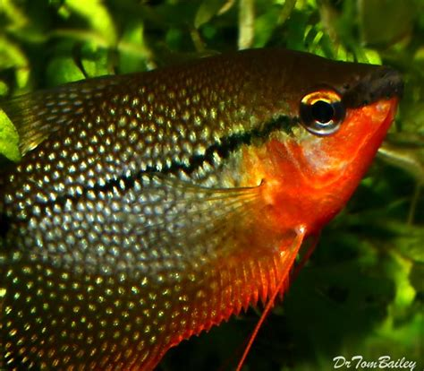 pearl gourami for sale aquariumfish net